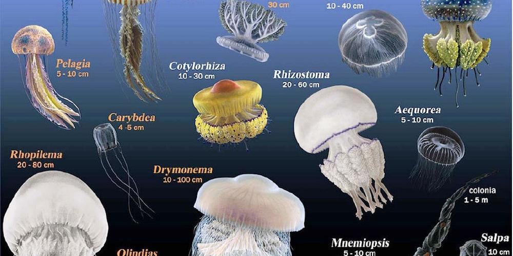 Mieux connaître les méduses, ces animaux gélatineux que l'on va croiser dans l'eau cet été !
