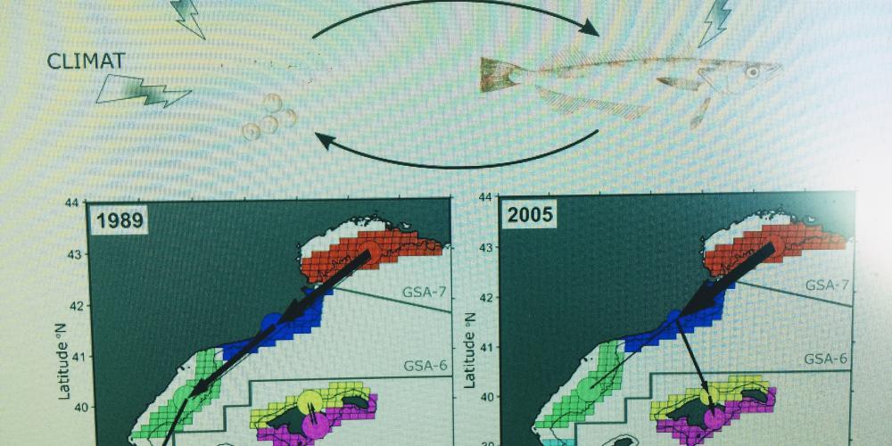 Intégrer les effets de la connectivité et du climat sur le recrutement dans la gestion halieutique