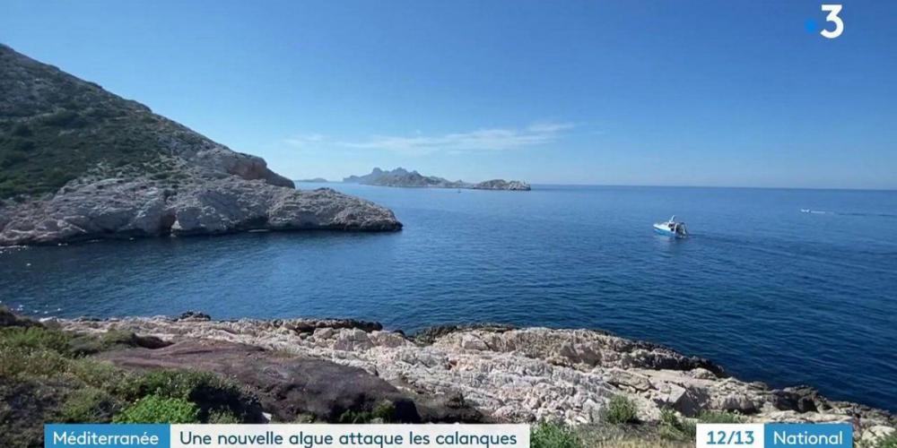 Calanques de Marseille : une algue invasive venue du Japon prolifère