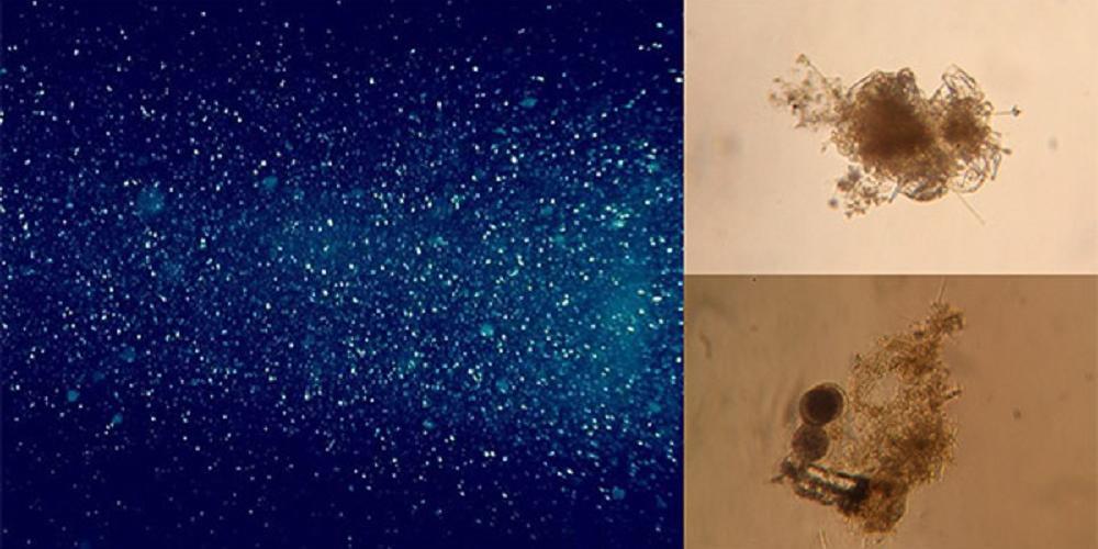 Océan profond : à la recherche des microbes vivant sur la neige marine