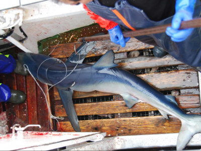 The blue shark victim of magnetic hooks