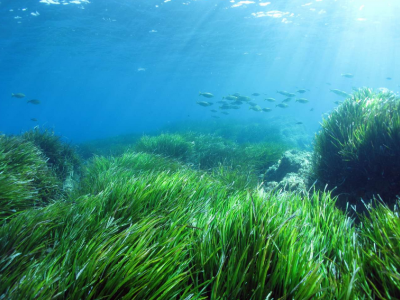Posidonia meadows